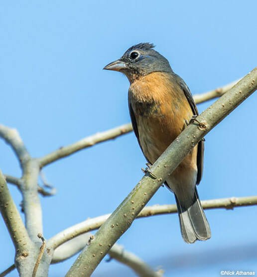 Rose-Bellied Bunting female