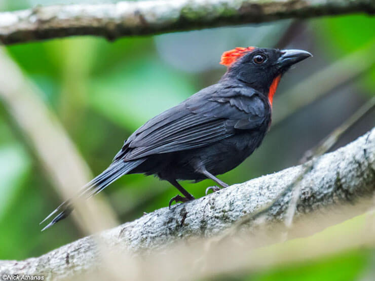 Sooty Ant-Tanager male