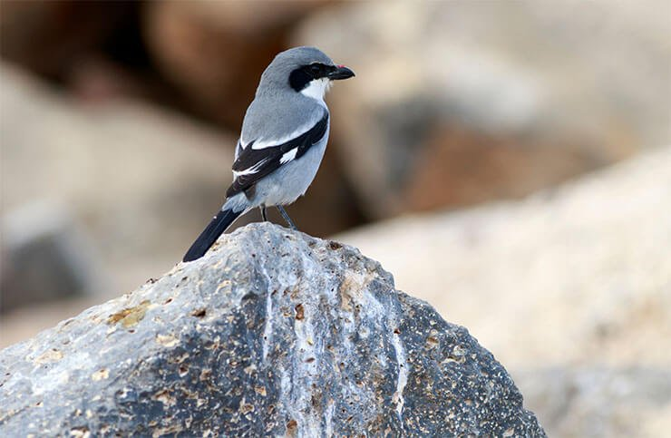 Southern grey shrike aspects