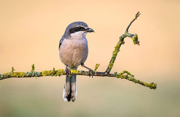 Southern grey shrike closeup