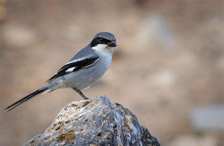 Southern grey shrike conservation