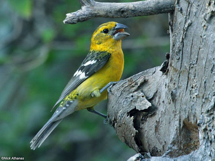 Southern Yellow Grosbeak female