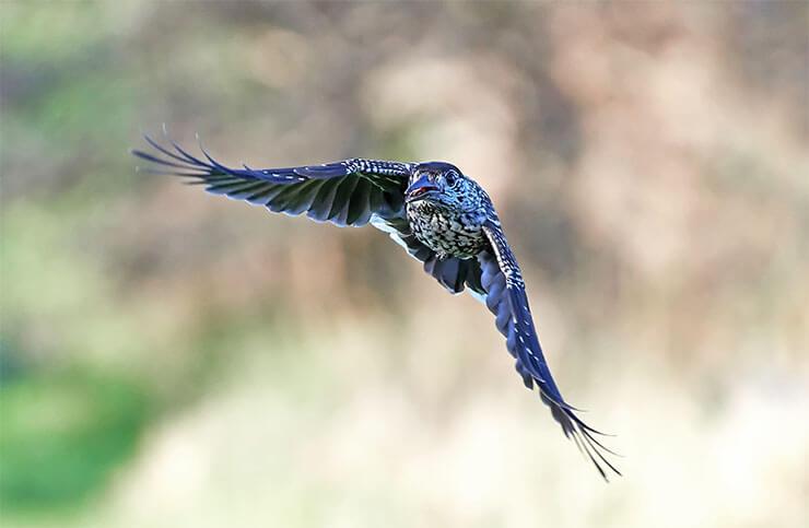 Spotted nutcracker in flight