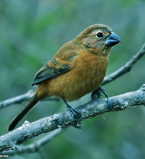 Ultramarine Grosbeak female