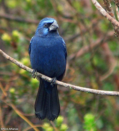 Ultramarine Grosbeak male