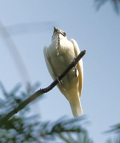 White Bellbird aspects