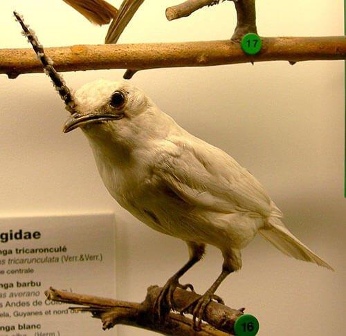 White Bellbird closeup