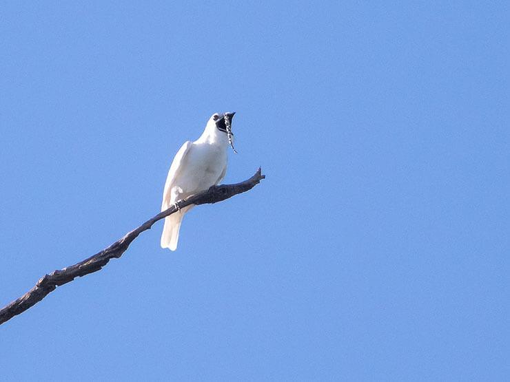 White Bellbird on a branch