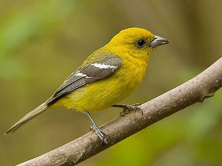 White-Winged Tanager female