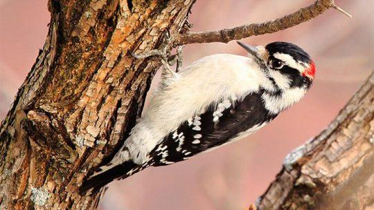 Woodpeckers of Ohio