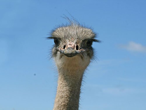 Common Ostrich eyelashes