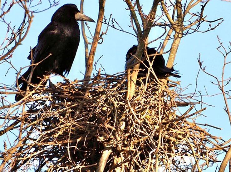 Rook nest