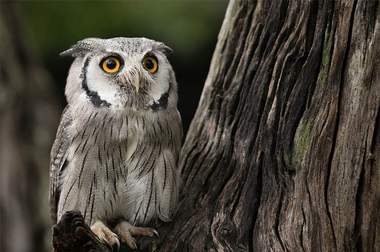 Southern white-faced owl aspects