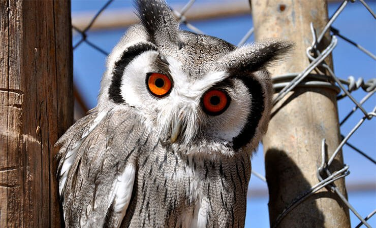 Southern white-faced owl conservation