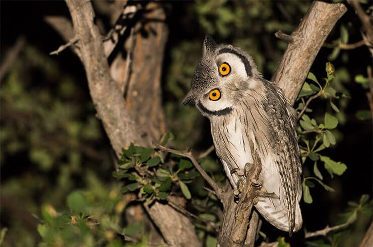 Southern white-faced owl diet