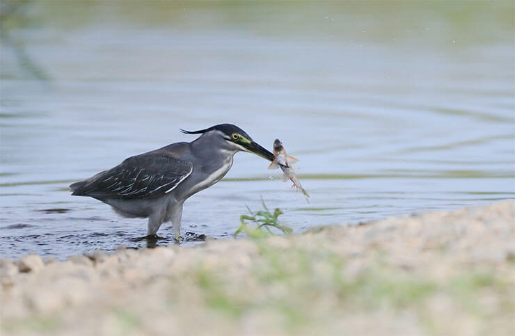 Striated heron diet