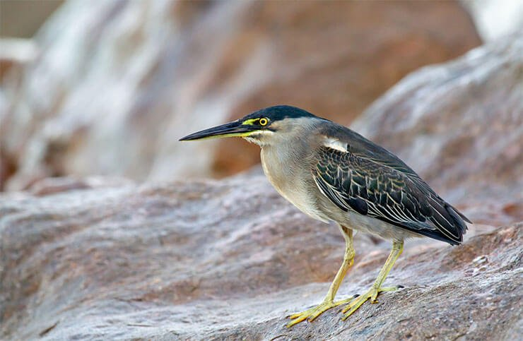 Striated heron distribution