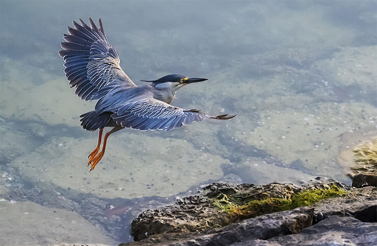 Striated heron flight
