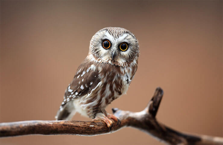 The owls of Arizona