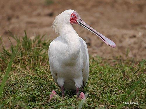 African Spoonbill habitat