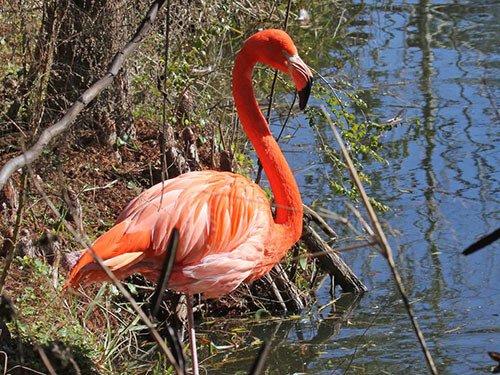 American Flamingo habitat