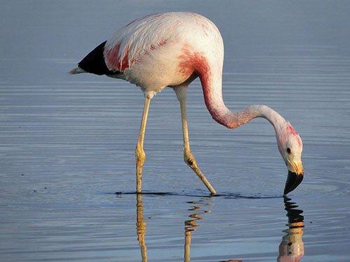 Andean Flamingo habitat