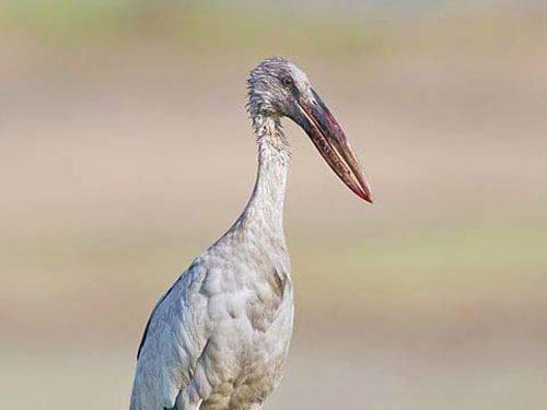 Asian Openbill Stork closeup