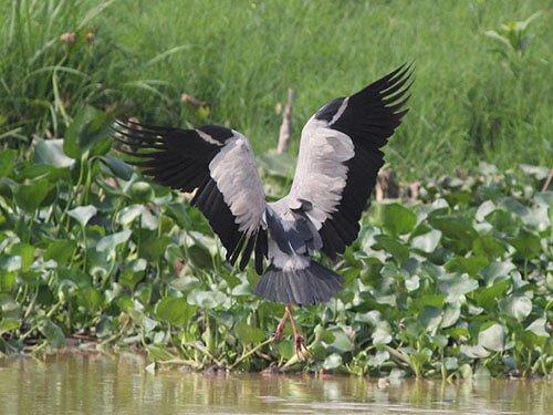 Asian Openbill Stork habitat