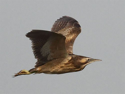 Australasian Bittern in flight