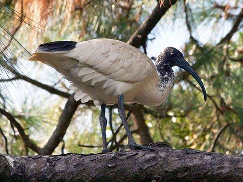 Australian White Ibis closeup