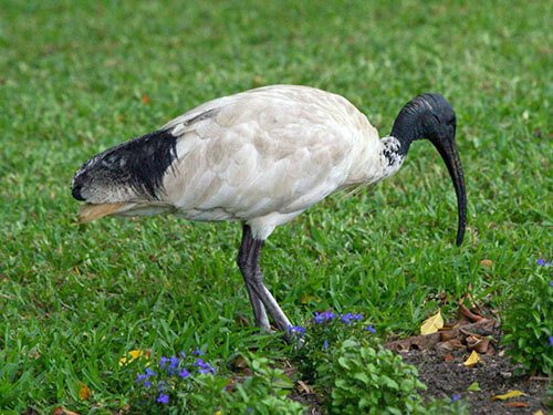 Australian White Ibis habitat