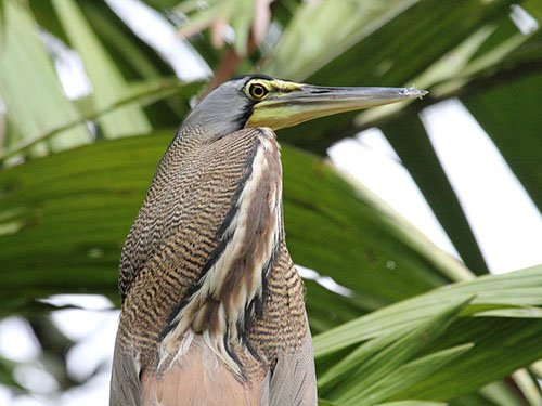 Bare-Throated Tiger Heron closeup