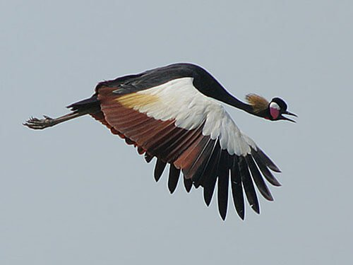 Black-Crowned Crane in flight
