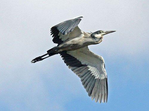 Black-Headed Heron in flight
