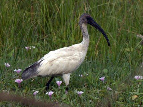 Black-Headed Ibis habitat