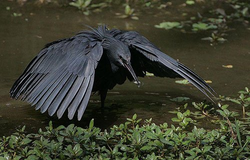 Black Heron feeding