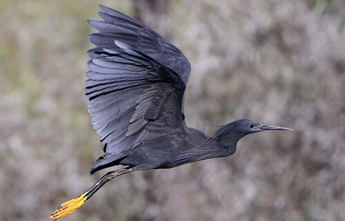Black Heron flight