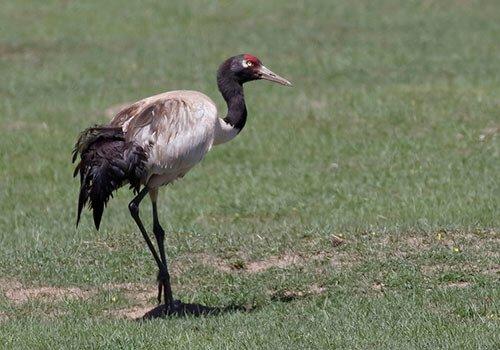 Black-Necked Crane feathering