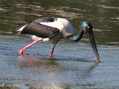 Black-Necked Stork adult