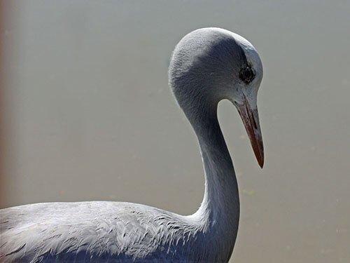 Blue Crane juvenile