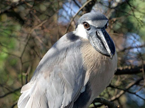 Boat-Billed Heron closeup