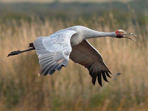 Brogla in flight