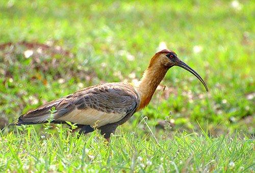 Buff-Necked Ibis closeup