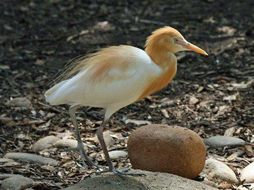 Cattle Egret breeding plumage