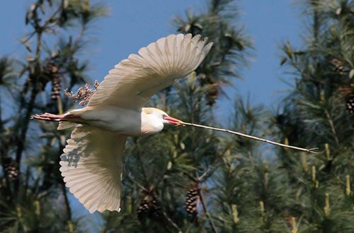 Cattle Egret flight