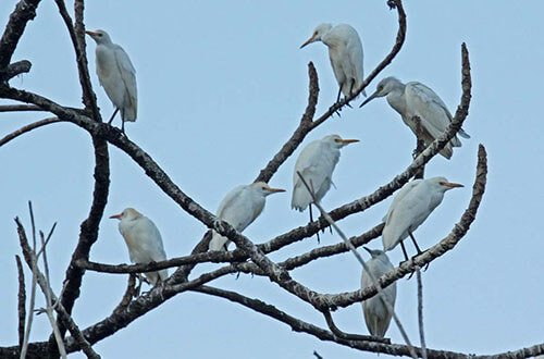Cattle Egret on the tree
