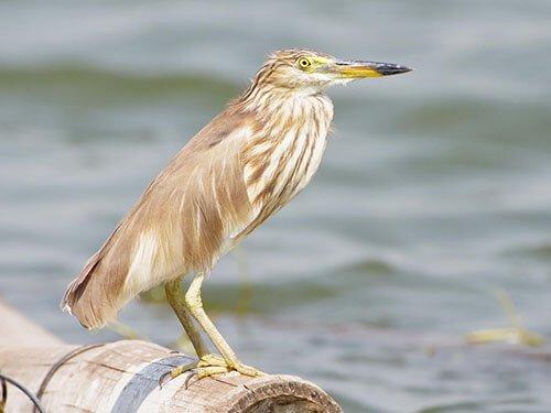 Chinese Pond Heron closeup