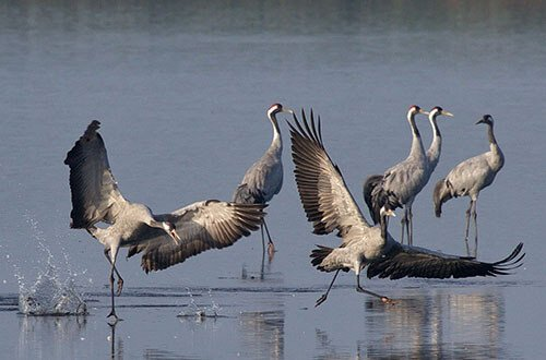 Common Crane habitat