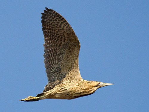 Eurasian Bittern in flight