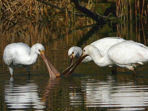 Eurasian Spoonbill habitat